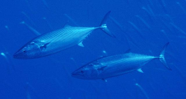 Румънски кораб ще проучва запасите от риба в Черно море 1